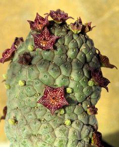 marlothii larryleachia