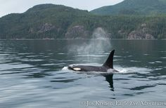 a24matriline: Magin(A71) Photo credit: Eagle... - Northern Resident Orcas