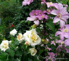 Plants, Plant Combinations, Love Rose, Shrubs, Flowers, Beautiful Roses, Rose, Cottage Garden, Clematis