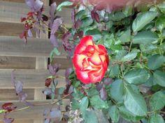 Betty Boop™ - Heirloom Roses