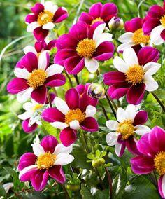 Dahlia 'Twyning's Smartie' - Een zeer bijzondere enkelbloemige dahlia. Uitermate geschikt voor op je zomerse terras!
