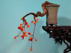 #celastrus #obiculatus #bonsai