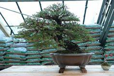 Bonsai Bonsai Styles, True Art, Ikebana, Evergreen, Trees, Chinese, The Incredibles, Gardening, Plants