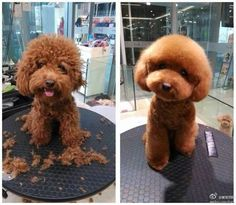 Humor Discover Train Your Dog The Smart Way With These Handy Tips. While puppy Cockapoo Grooming Poodle Grooming Pet Grooming Cute Puppies Cute Dogs Dogs And Puppies Doggies Cavapoo Puppies Poodle Puppies Cockapoo Grooming, Poodle Grooming, Pet Grooming, Cavapoo Puppies, Cute Puppies, Cute Dogs, Dogs And Puppies, Goldendoodle, Doggies