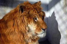 Liger Wild Survival is very much Possible but it is dependent upon the availability of the food. Surviving In The Wild, Big Cats, Survival, Animals, Google, Leo, Sign, Nature, Leon