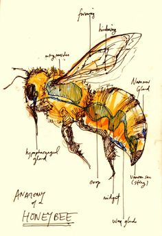 I was unable to identify the artist on this wonderful sketch. People please sign your work.Unfortunately, I was unable to identify the artist on this wonderful sketch. People please sign your work. Scientific Drawing, Scientific Journal, I Love Bees, Bee Art, Nature Journal, Save The Bees, Bees Knees, Bee Keeping, Mellow Yellow