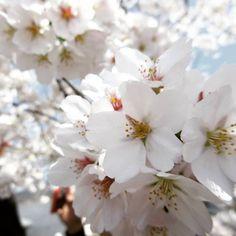 【koto5107】さんのInstagramをピンしています。 《今年はお弁当を持って屋台でも買って レジャーシート引いてゆっくりのんびり飲みながら お花見したいな〜😊🌸🍡 ピクニックしたいな〜😋🍴💓 なんてもう既に春のこと考えてる😏💭💓 今年も平和で仲良くいたいなっ。  #お正月より#春の方が#始まり#って感じが#強い#と思う#のは#私だけでしょうか #桜が#楽しみ#写真は#一昨年#撮った#秩父#桜 。》