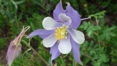 Wildflowers of Colorado's Rocky Mountains