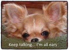 All Ears Chihuahua ❥