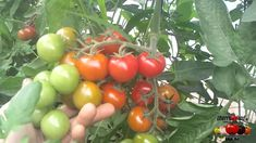 Tomate Cherry MINI TOMATITO