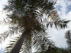 Cidade de #Caconde interior de SP -  #Palmeira #Natureza #CasaDaVó