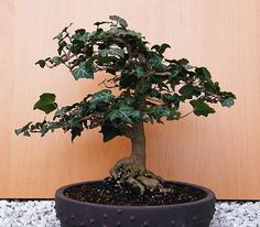 Bonsai Ivy Tree. Symbolizes determination, change, and patience in Celtic tree folklore.