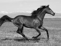 My horse, Buddy, was a Thoroughbred. All The Pretty Horses, Beautiful Horses, Animals Beautiful, Appaloosa Horses, Thoroughbred Horse, Horse Photos, Horse Pictures, Horse Rescue, American Saddlebred