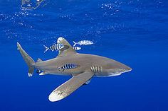 Good news for sharks at Indian Ocean Tuna Commission meeting #green #sustainability #rmogreen