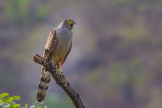 Bertrando© posted a photo:  Gavião-bombachinha-grande (Accipiter bicolor). (Vieillot, 1817).  View all my photos here: www.fluidr.com/photos/bertrandocampos  More information about this species you can find here:  neotropical.birds.cornell.edu/portal/species/overview?p_p...  datazone.birdlife.org/species/factsheet/Bicolored-Hawk  avibase.bsc-eoc.org/species.jsp?avibaseid=FB27427BB7288B30  www.wikiaves.com.br/gaviao-bombachinha-grande