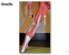 Gracilis - Muscles of the Lower Extremity Anatomy Visual Atlas, page 21 by robswatski, via Flickr