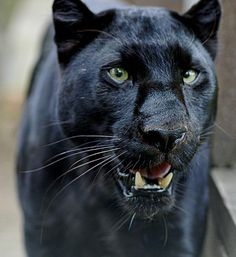 Black panther beauty
