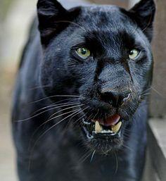 Black panther beauty