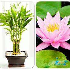 #COCHogar Las #plantas, además de ser un elemento #decorativo maravilloso, ayudan a oxigenar y purificar el aire del #hogar. Según el #FengShui, la Flor de loto representa la verdad y la pureza. Mientras que el #bambú chino simboliza la longevidad.