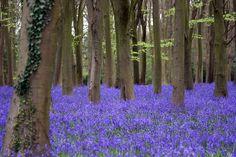 Bluebells at Badbury Hill