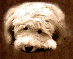 mini goldendoodle... A mini holly <3. I WANT!