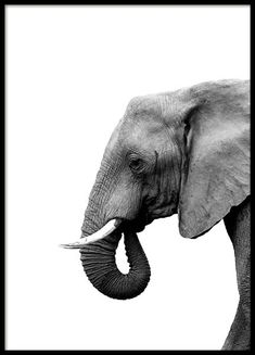 Elephant From Side Poster in the group Poster / Insects and Animals at Desenio . - Elephant From Side Poster in the Poster / Insects and Animals group at Desenio AB - Deco Elephant, Elephant Poster, Elephant Head, Prada Marfa, New York Poster, Poster Photo, Gold Poster, Buy Posters Online, Pets