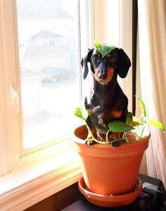 Don't you know that dachshunds need sunlight to grow?!.