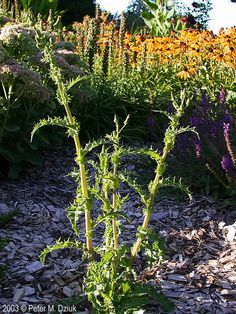 Image result for spiny sowthistle
