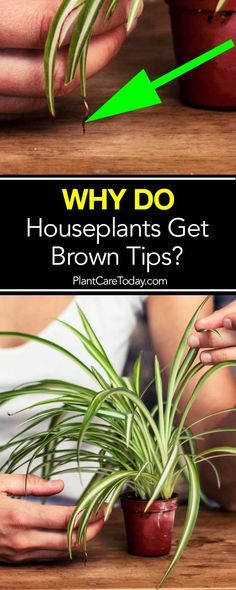 Brown Tips on Houseplants Leaves -  A Reason Why!