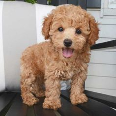 Toys and Teacups: The Best Miniature Dog Breeds Cute Small Dogs, Cute Dogs And Puppies, Tiny Puppies, Doggies, Small Mixed Breed Dogs, Tiny Dog, Toy Poodle Puppies, Teacup Puppies, Toy Poodles