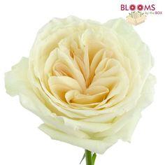 Garden Rose Ou0027Hara White