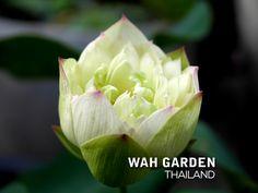 Chuehuang Lotus Yellow 6 | Nelumbo nucifera or Sacred Lotus … | Flickr Nelumbo Nucifera, Sacred Lotus, Yellow