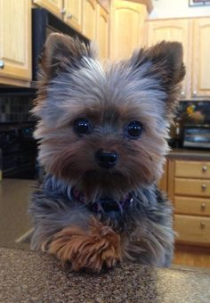 Riley the Yorkie! what a cutie