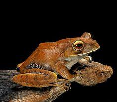 Madagascar Tree Frog (Boophis madagascariensis)
