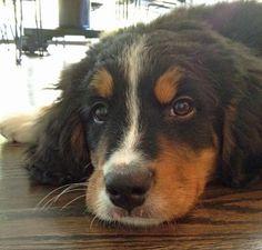 Kona the Bernese Mountain Dog