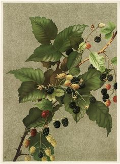 Ellen T. Fisher  Blackberries  1887