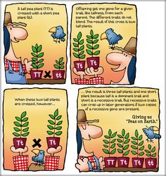 Chapter 5: cute comic illustrating Mendel's genetic experiments.