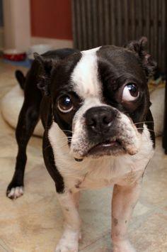 Boston Terrier Stink Eye