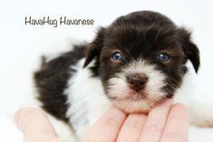 Cutest Chocolate Parti Havanese Puppy with Blue Eyes <3 HavaHug Havanese <3   www.havahughavanese.com