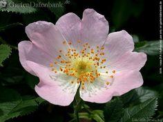 Bild Hundsrose, Heckenrose, Hagebutten Rosa canina, Foto Blüten, rosa, von oben, Staubgefäße, Makro