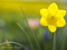 Leinwandbild kleine gelbe Narzisse auf der Wiese