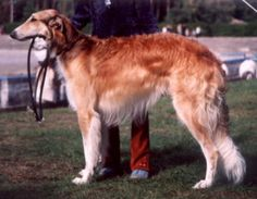 Borzoi Dog Info, Mixes, Temperament, Training, Puppies, Pictures Puppy Images, Puppy Pictures, Borzoi Puppy, Most Popular Dog Breeds, Wild Creatures, Training Your Puppy, Dry Dog Food, Dogs Of The World, Dogs And Puppies