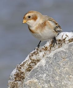 Snow bunting (Plectrophenax nivalis) at RSPB Titchwell on January 2015 Bunting Bird, Buntings, Flight Patterns, Game Birds, Sparrows, Backyard Birds, Exotic Birds, Birds Of Prey, What A Wonderful World