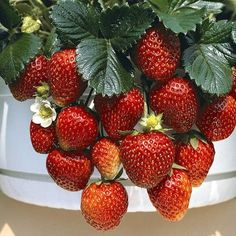 12 Organic Strawberry Temptation mini Plug Plants for Hanging baskets Can Dogs Eat Strawberries, Alpine Strawberries, Strawberry Seed, Strawberry Plants, Garden Plants Vegetable, Plants For Hanging Baskets, Healthy Herbs, Fruit Seeds, Vegetable Garden