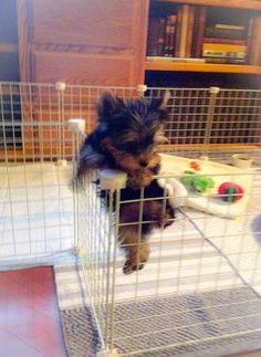 #yorkie #escapeartist ~ blurry pic but I still love it since it's my baby ❤ #yorkielife #climber #yorkielove #tinypuppy #tinydog #puppy #dog