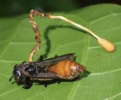 Insekten Keule