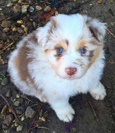 5 Pictures of Beautiful Australian Shepherd Puppy