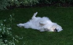Sheena loves a roll in the grass