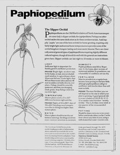 Care instructions for Paphiopedilums (the slipper orchid)