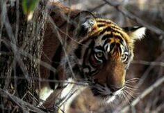 The secret tale of an Indian jungle Wild Tiger, Tiger Woods, Wildlife, Tours, Footprints, Kerala, Nature, Insight, Wordpress